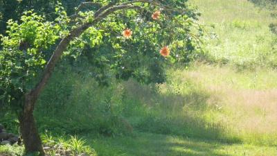 Õites õunapuu