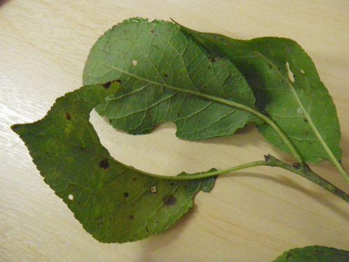 Lehekärsakas maipõrnbikas ja aiapõrnikas söövad lehed auklikuks.
