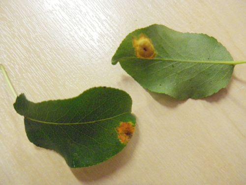Pirnirooste pulstulid lehe külgedel