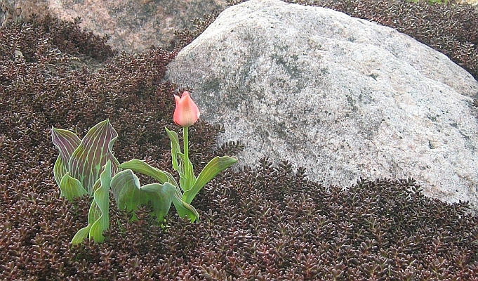 Tulp ja valge kukehari Tuula kiviktaimlas