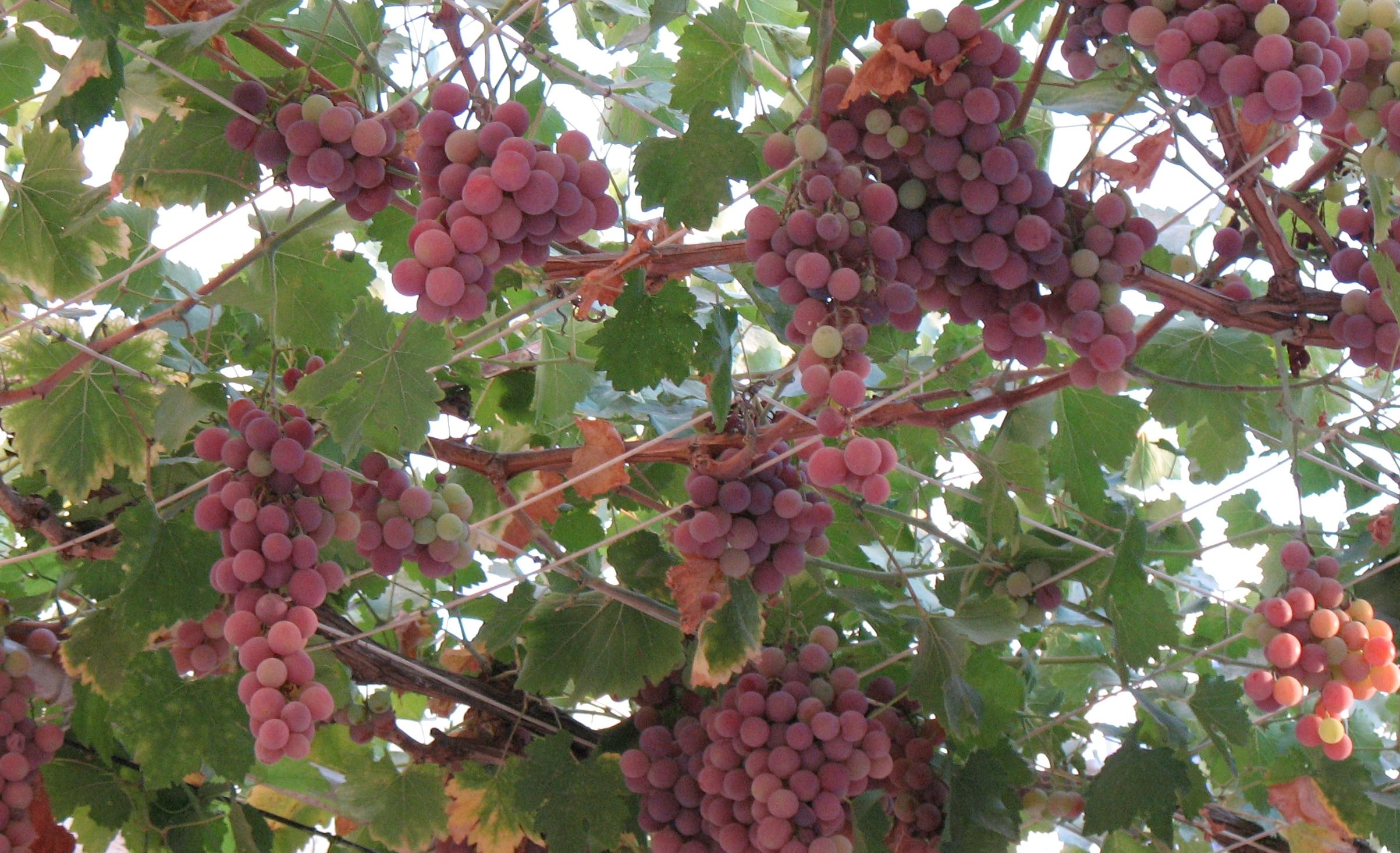 Harilik viinapuu
