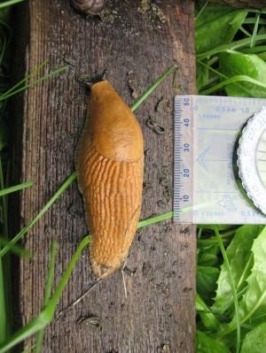 Lusitaania teetigu. Foto: Keskkonnateabe keskus