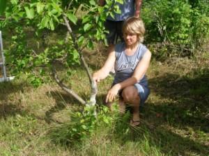 Jänese näritud noor õunapuu