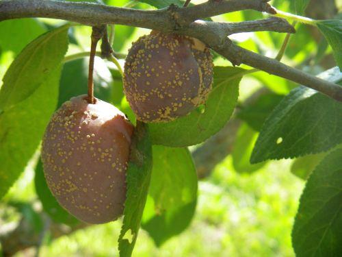 puuviljamädanik ploomi viljal